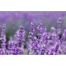 Lavender essential oil, 50 ml