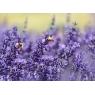 Lavender honey, 250 g - IGP Provence et Label Rouge